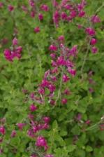 Salvia greggii Two toned pink 1128.jpg
