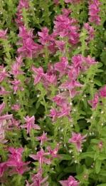 Salvia horminum marbie arch rose 1129.jpg