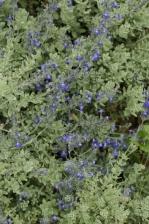 Salvia chamaedryoides Blue Ribbon 1130.jpg