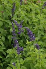Salvia Indigo Spires 1131.jpg