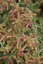 Salvia lanceolata 1133.jpg