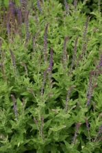 Salvia nemorosa 1137.jpg