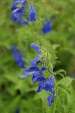 Salvia patens 1139.jpg