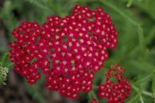 achilea red beauty 3969.jpg