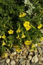 Petunia calibrachoa Callie Deep Yellow 970.jpg